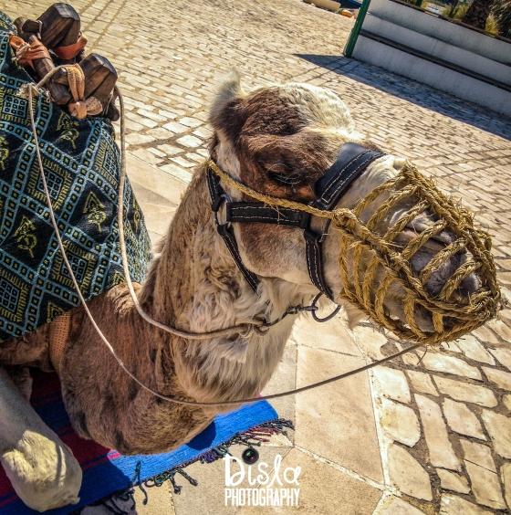Camel Backs